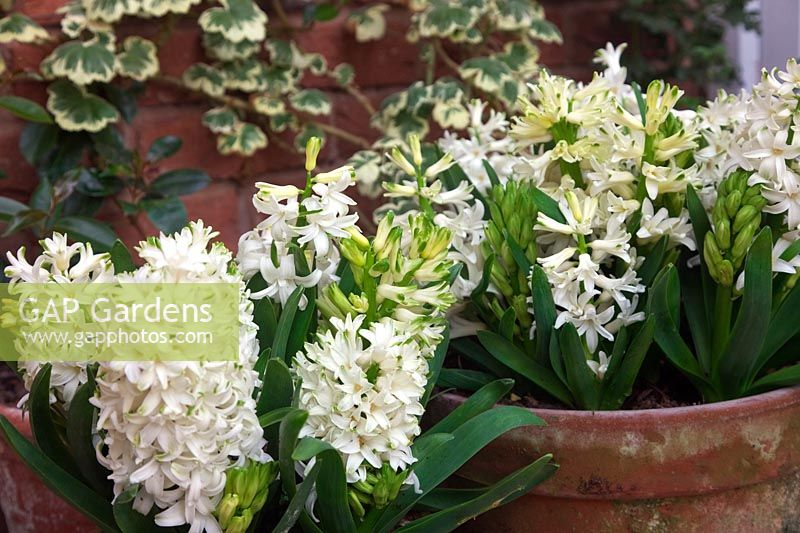 The fragrant white Hyacinth - Hyacinthus orientalis 'Carnegie' in pots in conservatory during February