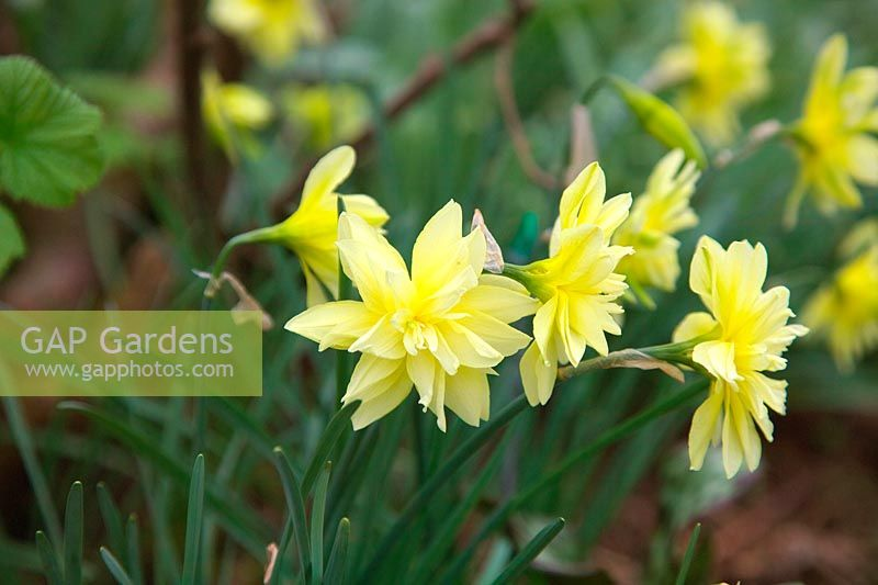 Narcissus 'Eystettensis'  - 4 -  Queen Anne's double daffodil