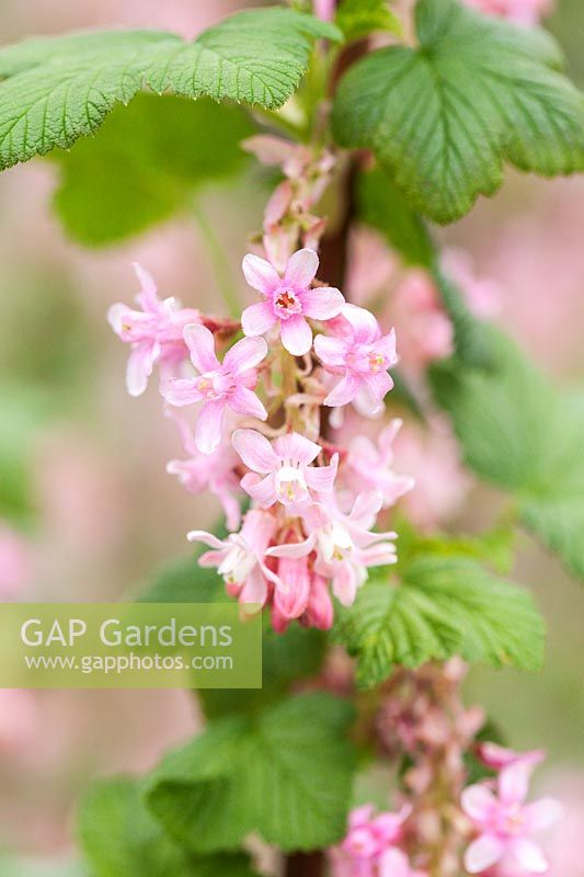 Gap Gardens Ribes Sanguineum Pokys Pink Flowering Currant