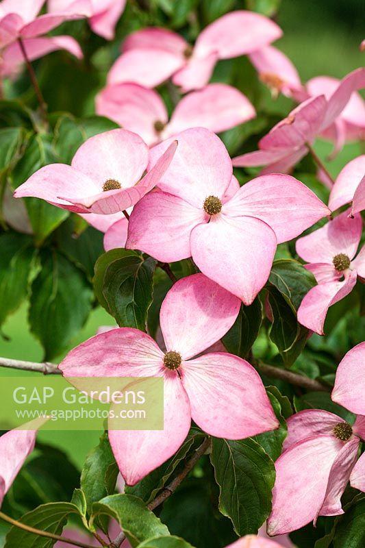 Gap Gardens Cornus Stellar Pink Rutgan Dogwood Image No