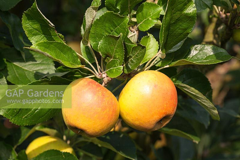 Malus domestica - Apple 'Rosemary Russett' ( AGM )