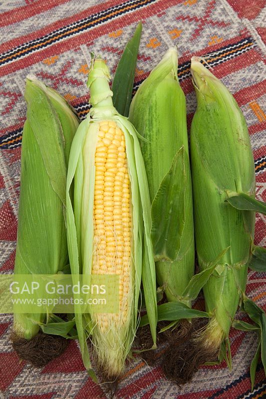Freshly picked Sweetcorn, Corn on the Cob, Maize showing ripe yellow kernels