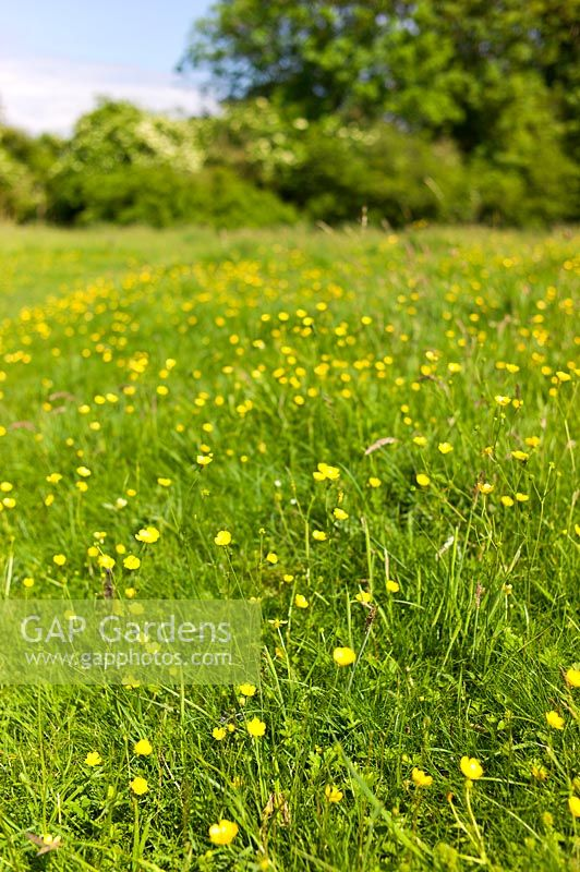 Ranunculus, Buttercup and meadow grasses at Chilbolton Cow Common, a Site of Special Scientific Interest ( SSSI ), Hampshire, UK