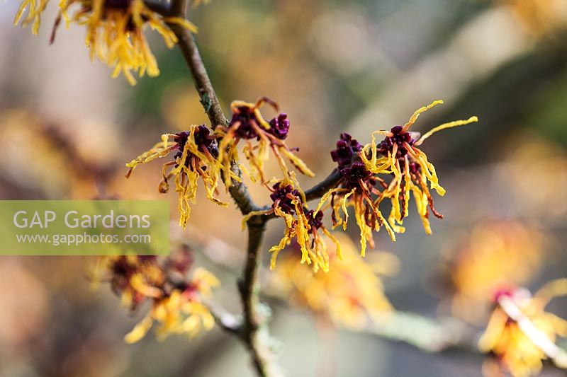 Hamamelis x intermedia 'Vesna' flowering in late winter