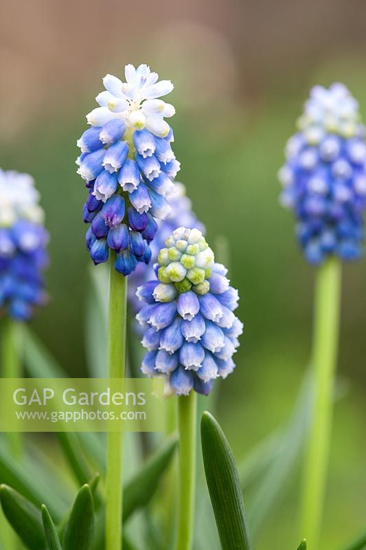 Muscari armeniacum 'Touch of Snow' - Grape Hyacinth flowering in spring