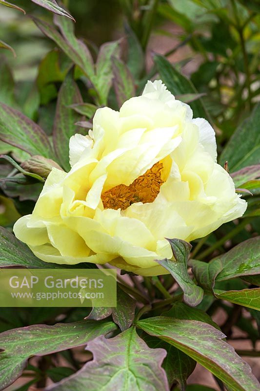 Gap Gardens Paeonia High Noon Yellow Flower Of Saunders Hybrid