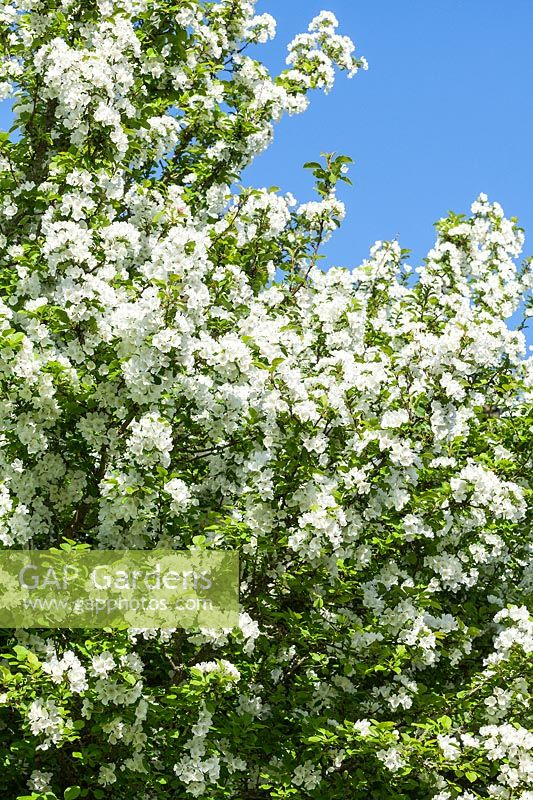 Malus asiatica var. wrightii - Chinese Crab apple tree blossom in spring