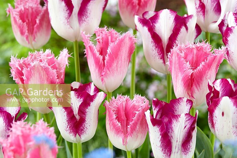 Tulipa Affaire, Huis ten Bosch