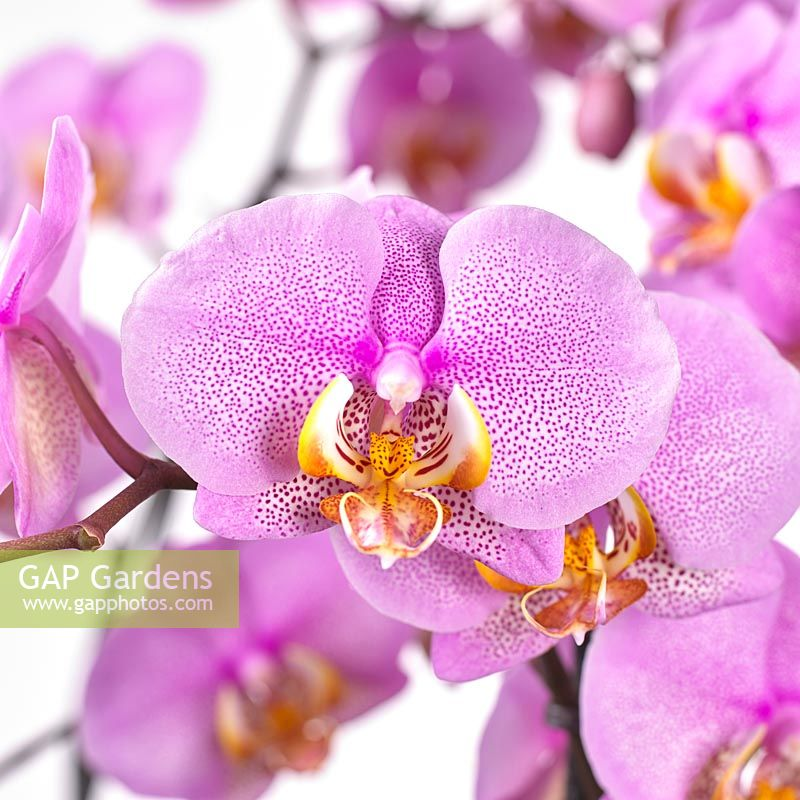 Gap Gardens Phalaenopsis Pink Dragon Image No 0702893 Photo