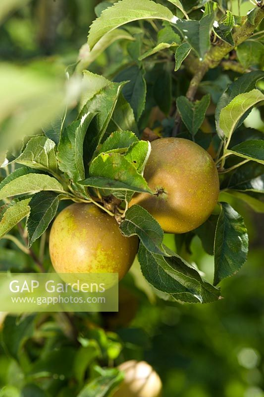 Portrait of Apple Egremont Russet in Walled Garden of West Dean