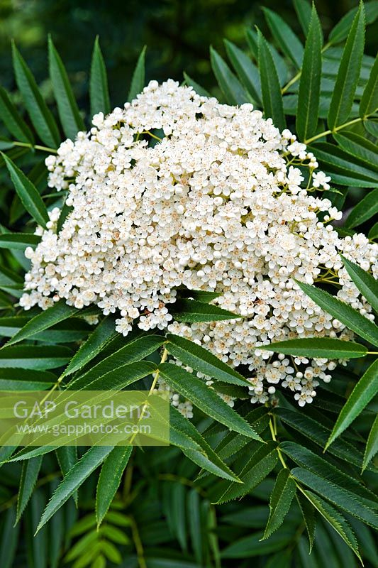 Sorbus commixta (Japanese rowan tree) white flower