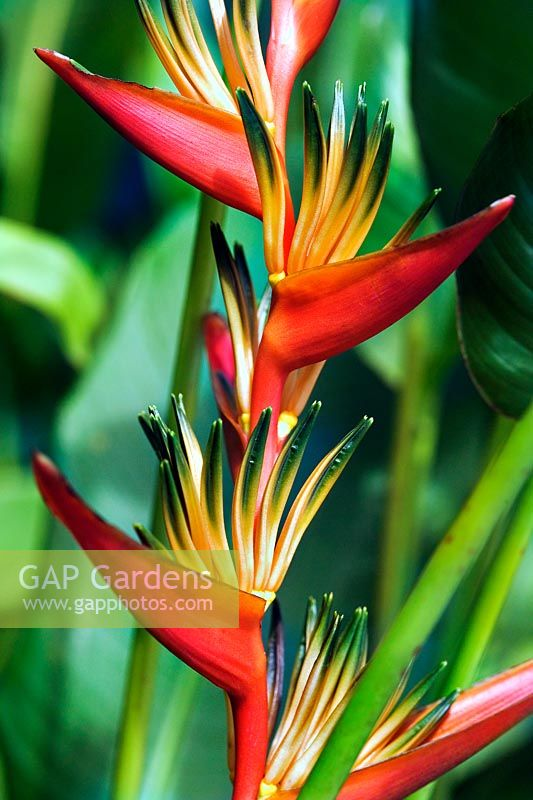 Heliconia sp Crab Claws flowering plant in Barbados