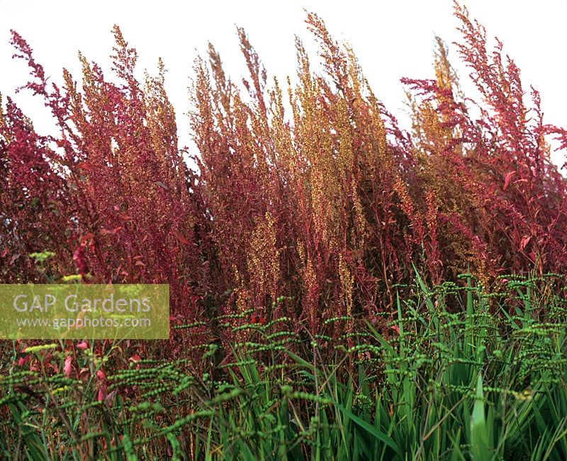 Atriplex hortensis var rubra Red Orache Perennial bed with bright red perennial foliage Foeniculum vulgare Fennel