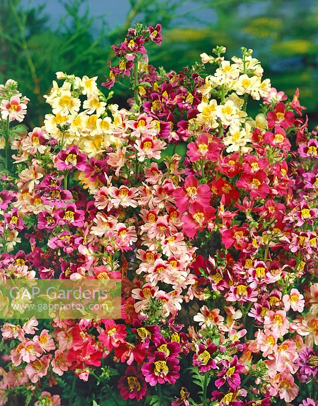 Incarvillea delavayi Mix