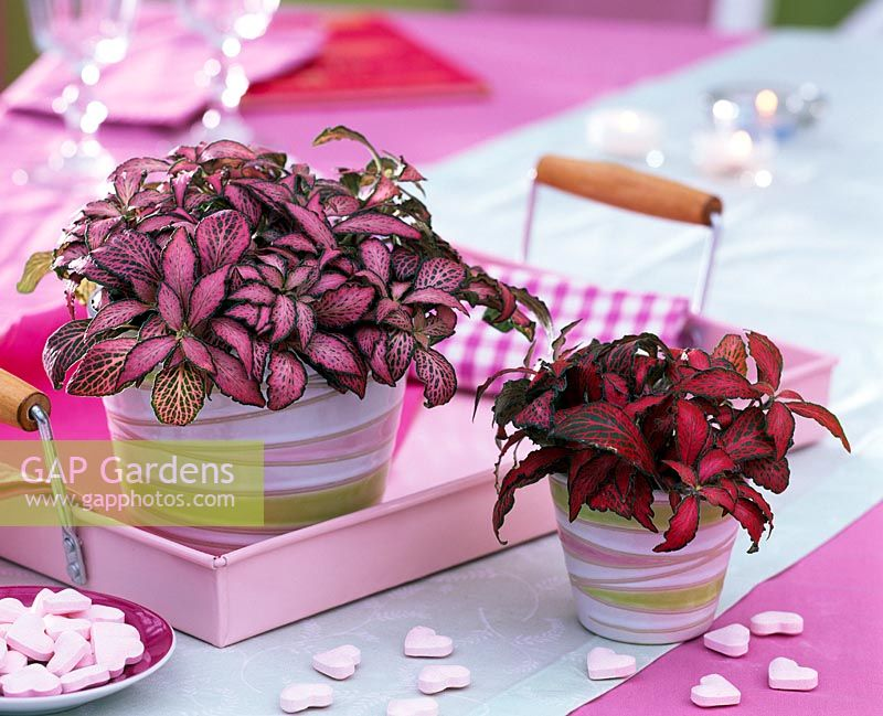 Fittonia ( fittonia ) in striped flower pots, pink tablet, sugar hearts