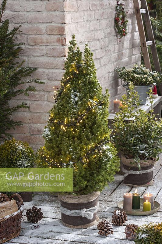 Picea glauca 'Conica' ( Sugar spruce ) with light chain, osmanthus