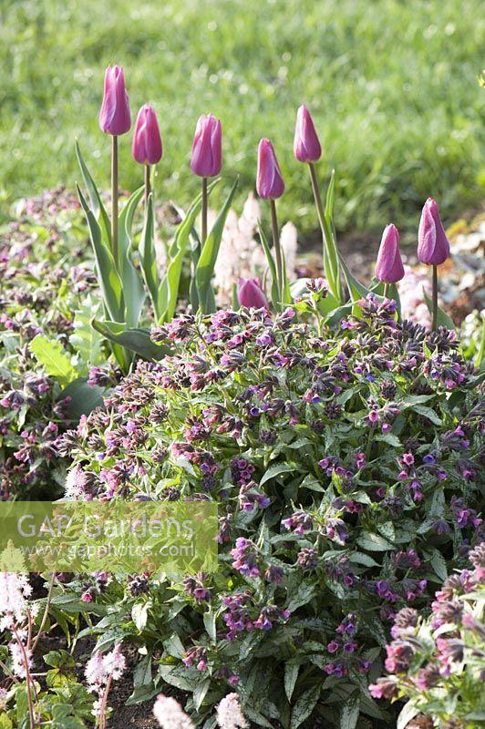 Gap Gardens Pulmonaria Silver Bouquet Lungwort And Tulipa