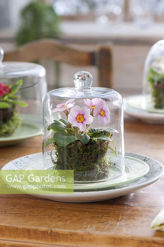 Table decoration with primroses under cloches