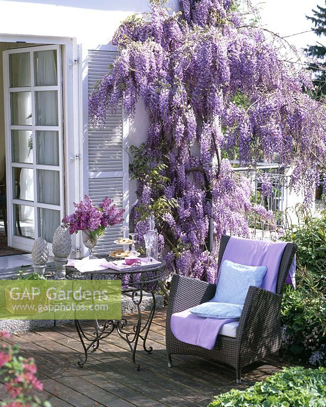 Wisteria sinensis ( wisteria ) on the wall, table and wicker chair