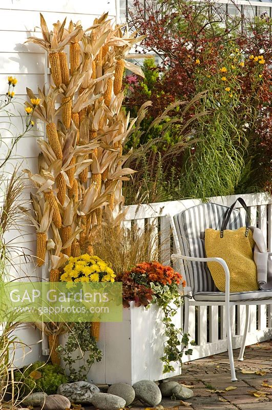 Zea ( maize ) hung on trellises of planter