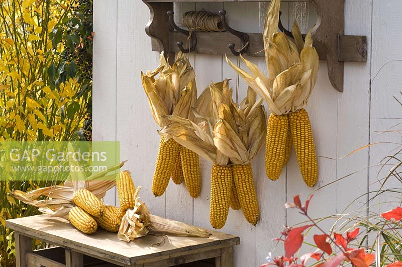 Zea ( maize ) hung to dry