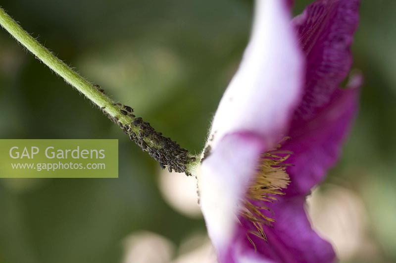 Aphids on flower of clematis ( Clematis )