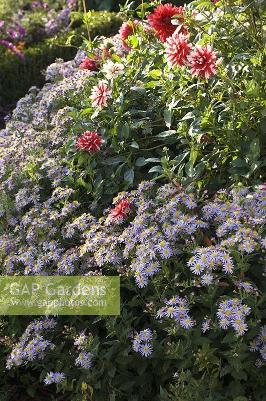 Gap Gardens Aster Ageratoides Asran Herbstaster Image No