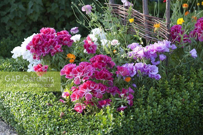 Godetia Grandiflora Stock Photo By Friedrich Strauss Image 0822804