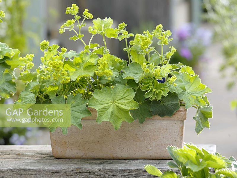 Lady's mantle - Perennials in box plants 2/2
