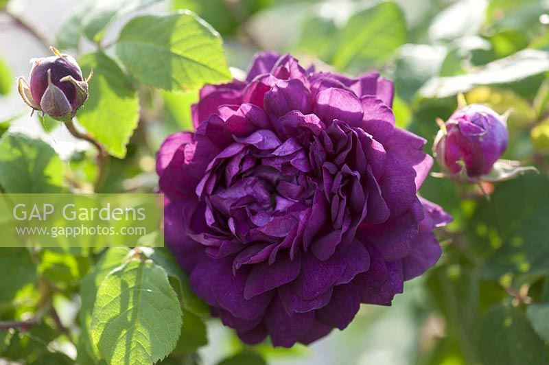 Gap Gardens Rosa Cardinal De Richelieu Gallica Rose Very