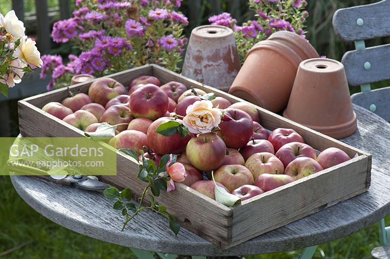 Wooden box with freshly picked apples 'Danziger Kant apple' ( Malus )