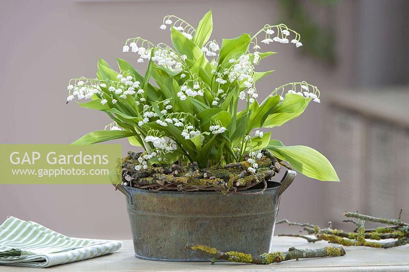 Metal Jardiniere with Convallaria majalis ( lily of the valley )