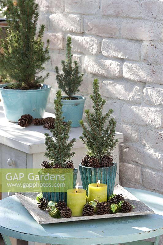 Small Picea glauca 'Conica' ( white spruce ) in turquoise pots