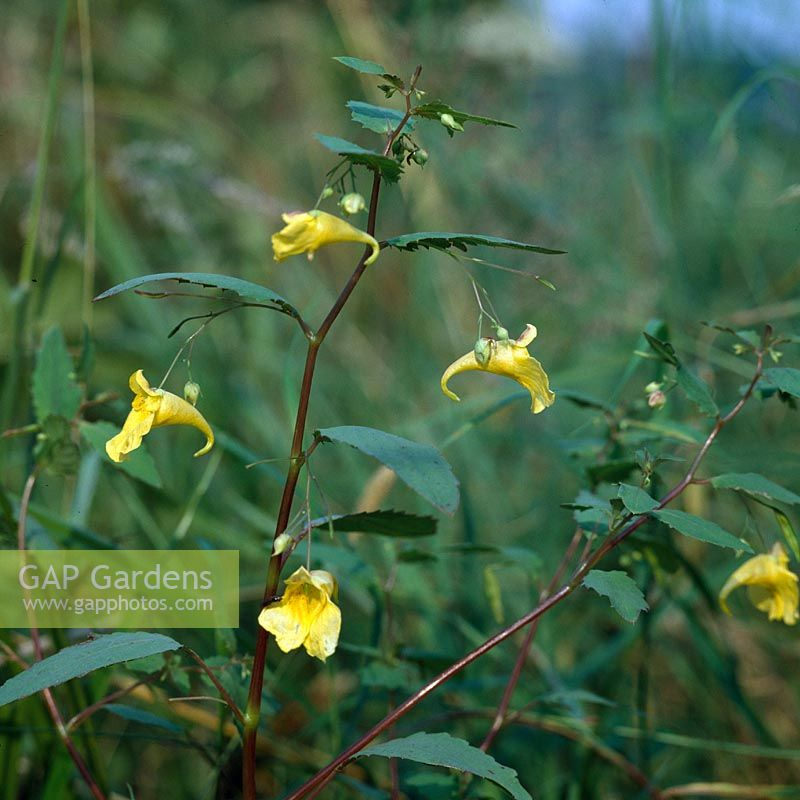 Great Balsam ( Impatiens noli-tangere ), also genuine balsam, touch-me-not-an Forest Balsam or old wives' wrath