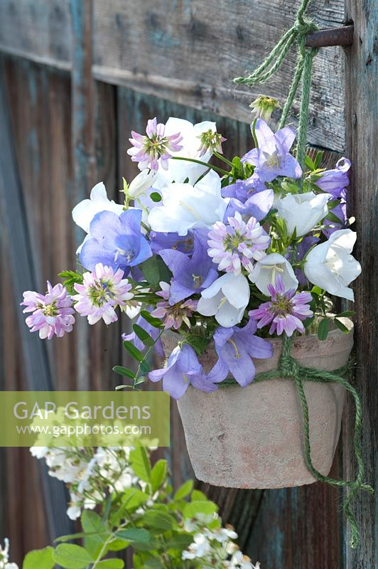 Small bouquet of Campanula ( bellflowers ) and Coronilla