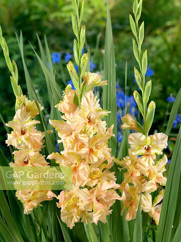 Gladiolus Magic Ruffled