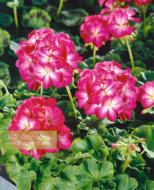 PELARGONIUM ZONALE RINGO 2000 ROSE STAR NEW