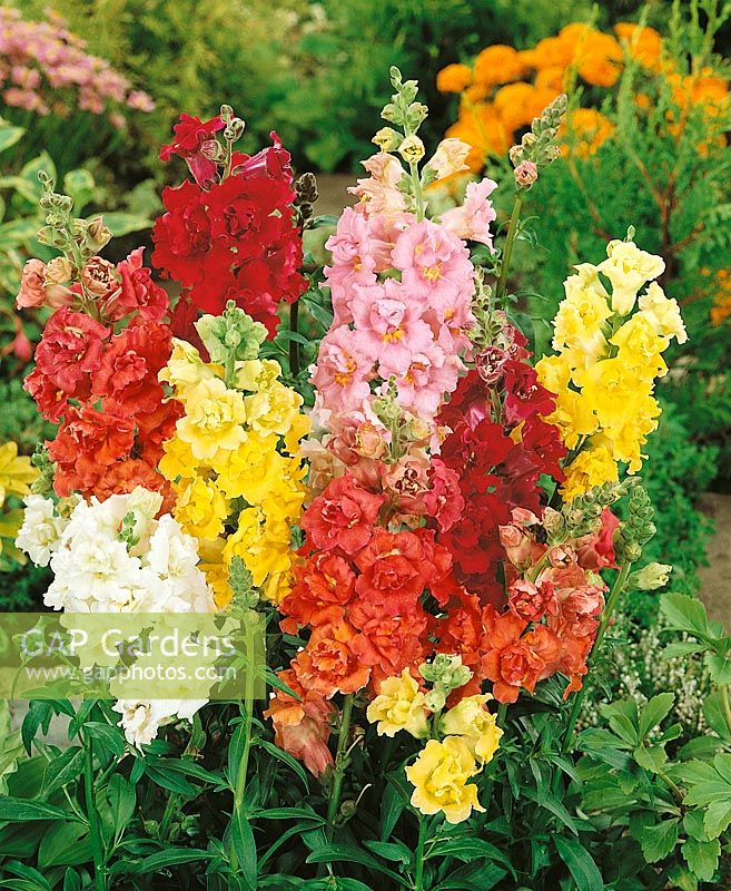 Antirrhinum majus Maximum Supreme mixed