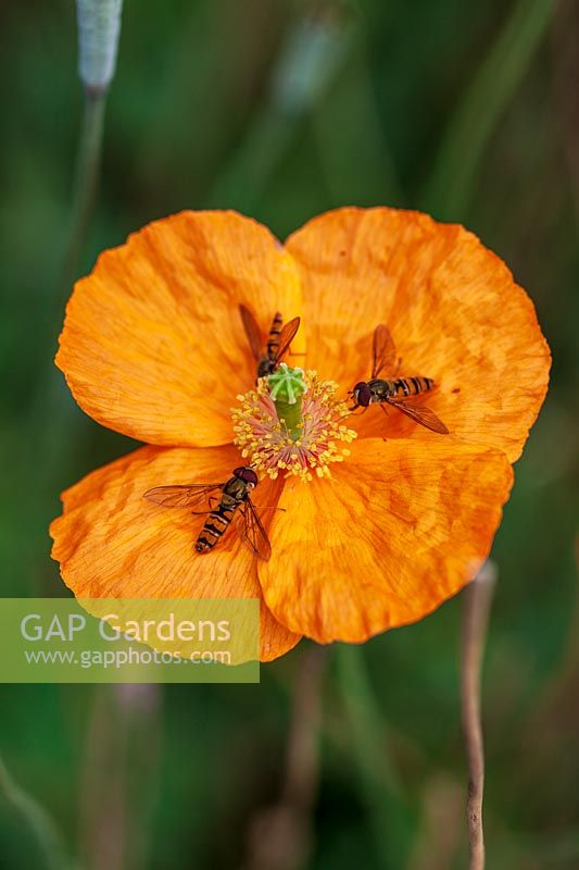 Papaver atlanticum with hover flies