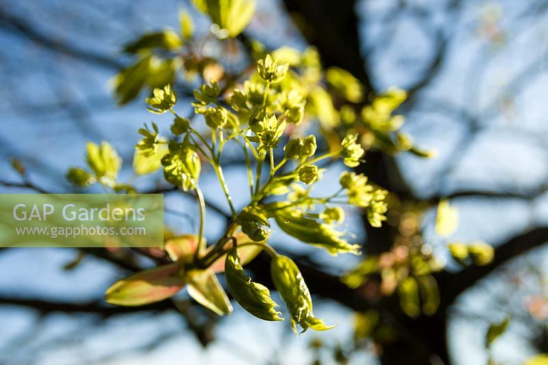 Norway Maple ( Acer platanoides ) flowers and foliage in early spring