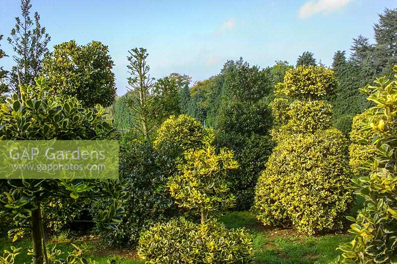 Highfield Hollies, Hants, UK. ( Mrs Louise Bendall ) Garden and nursery specialising in the breeding and sale of Holly