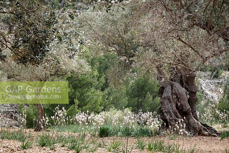 Asphodelus ramosus, also known as branched asphodel growing amongst the olive groves in Northern Mallorca