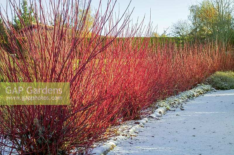 Lady Farm, Somerset, UK. ( Judy Pearce ) large garden in winter. Cornus 'Elegantissima' in winter light. Colourful bark
