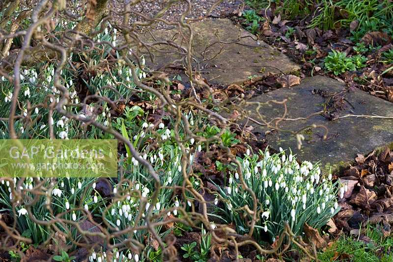 Sherborne Garden, Litton, Somerset ( Southwell ). Contorted Hazel with snowdrops and bulbs.