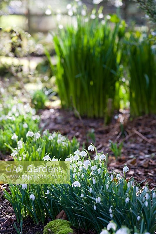 Sherborne Garden, Litton, Somerset ( Southwell ). Early spring garden with snowdrops and bulbs.