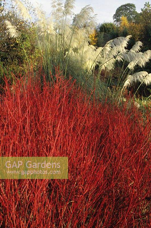 The Dingle Powys Cornus alba 'Elegantissima' Cortaderia selloana