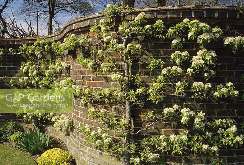 Vann Surrey Serpentine crinkle crankle curved wall with espalier apples in Spring