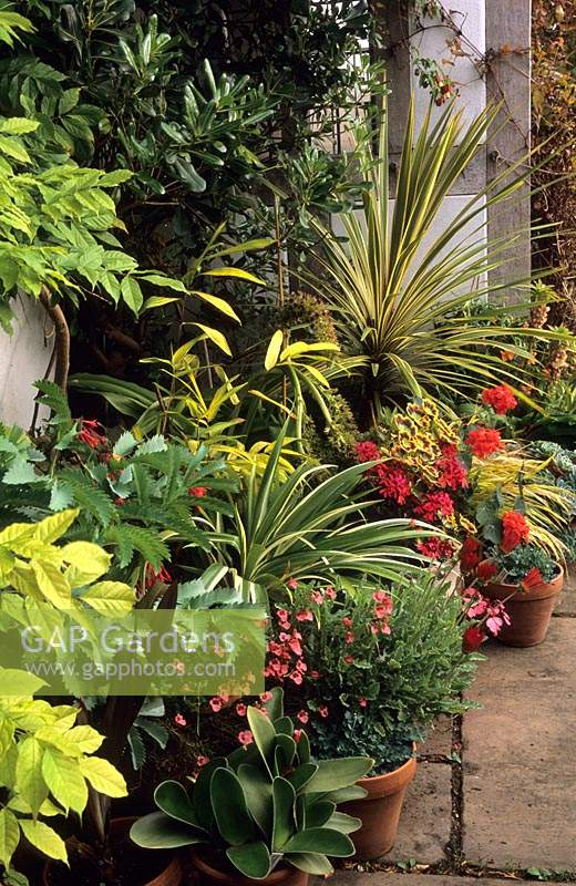 Eastgrove Cottage garden Worcestershire tender exotics Cordyline Eucomis Echiveria and Hakonochloa in containers by front door