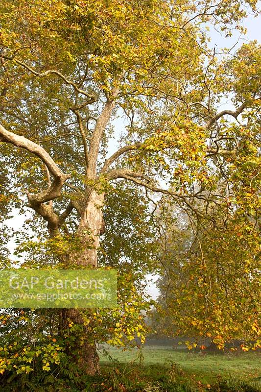 London plane tree Platanus x hispanica Cowdray Park Sussex England autumn fall October leaf foliage green yellow colour color