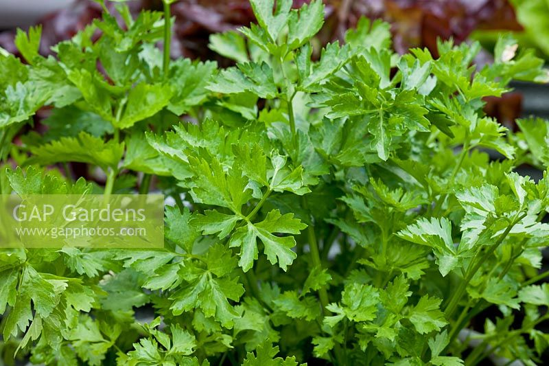 Leaf Celery Apium graveolens variety secalinum summer foliage vegetable container grown home organic edible kitchen garden plant